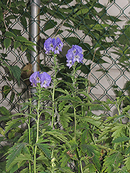 Autumn Monkshood (Aconitum carmichaelii 'Arendsii') at Make It Green Garden Centre