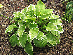Fragrant Bouquet Hosta (Hosta 'Fragrant Bouquet') at Make It Green Garden Centre