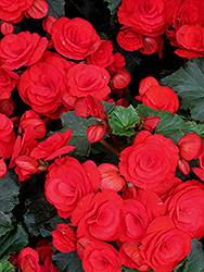 Nonstop® Red Begonia (Begonia 'Nonstop Red') at Make It Green Garden Centre