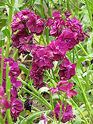 Stock (Matthiola incana) at Make It Green Garden Centre
