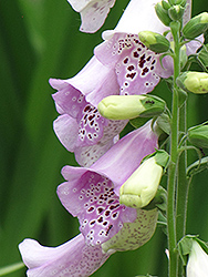 Camelot Lavender Foxglove (Digitalis purpurea 'Camelot Lavender') at Make It Green Garden Centre