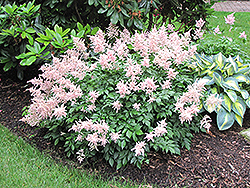 Peach Blossom Astilbe (Astilbe x rosea 'Peach Blossom') at Make It Green Garden Centre