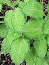 Emerald Tiara Hosta (Hosta 'Emerald Tiara') at Make It Green Garden Centre