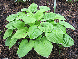 August Moon Hosta (Hosta 'August Moon') at Make It Green Garden Centre