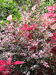 Red-leaved Snow Bush (Breynia disticha 'Roseopicta') at Make It Green Garden Centre