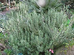 Tuscan Blue Rosemary (Rosmarinus officinalis 'Tuscan Blue') at Make It Green Garden Centre