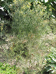 Bronze Fennel (Foeniculum vulgare 'Purpureum') at Make It Green Garden Centre