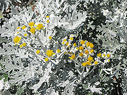 Silver Dust Dusty Miller (Senecio cineraria 'Silver Dust') at Make It Green Garden Centre