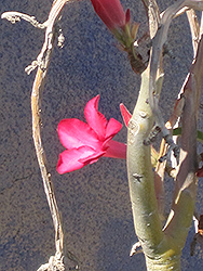 Desert Rose (Adenium obesum) at Make It Green Garden Centre
