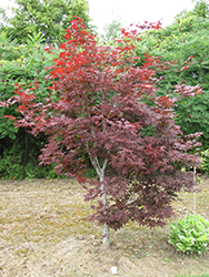Red Emperor Japanese Maple (Acer palmatum 'Red Emperor') at Make It Green Garden Centre