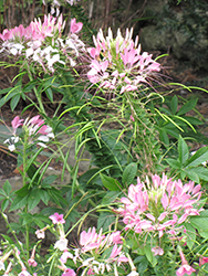 Sparkler™ Blush Spiderflower (Cleome hassleriana 'Sparkler Blush') at Make It Green Garden Centre