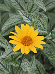 Loraine Sunshine False Sunflower (Heliopsis helianthoides 'Loraine Sunshine') at Make It Green Garden Centre