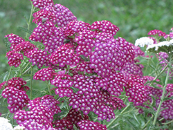 Cerise Queen Yarrow (Achillea millefolium 'Cerise Queen') at Make It Green Garden Centre