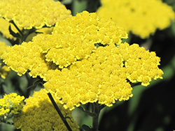 Moonshine Yarrow (Achillea 'Moonshine') at Make It Green Garden Centre