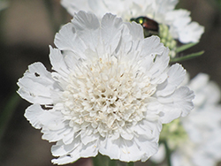 Perfecta White Pincushion Flower (Scabiosa caucasica 'Perfecta Alba') at Make It Green Garden Centre
