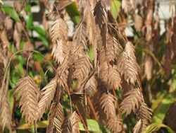 Northern Sea Oats (Chasmanthium latifolium) at Make It Green Garden Centre