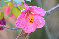Pink Flowering Maple (Abutilon 'Pink') at Make It Green Garden Centre