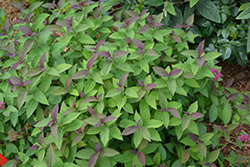Double Play® Red Spirea (Spiraea japonica 'SMNSJMFR') at Make It Green Garden Centre