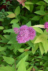 Double Play® Candy Corn® Spirea (Spiraea japonica 'NCSX1') at Make It Green Garden Centre