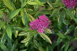 Double Play® Painted Lady® Spirea (Spiraea japonica 'Minspi') at Make It Green Garden Centre