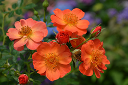 Oso Easy® Paprika Rose (Rosa 'ChewMayTime') at Make It Green Garden Centre