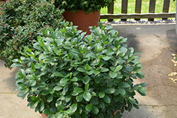 Low Scape® Mound Aronia (Aronia melanocarpa 'UCONNAM165') at Make It Green Garden Centre
