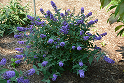 Lo And Behold® Blue Chip Dwarf Butterfly Bush (Buddleia 'Lo And Behold Blue Chip') at Make It Green Garden Centre