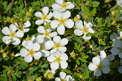 Happy Face® White Potentilla (Potentilla fruticosa 'White Lady') at Make It Green Garden Centre