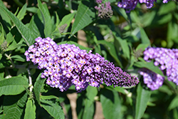 Pugster® Amethyst Butterfly Bush (Buddleia 'SMNBDL') at Make It Green Garden Centre