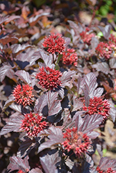 Ginger Wine™ Ninebark (Physocarpus opulifolius 'SMNPOBLR') at Make It Green Garden Centre