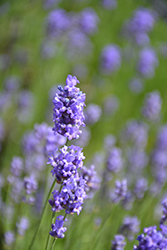 Hidcote Blue Lavender (Lavandula angustifolia 'Hidcote Blue') at Make It Green Garden Centre