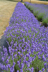 Hidcote Lavender (Lavandula angustifolia 'Hidcote') at Make It Green Garden Centre