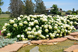 Incrediball® Hydrangea (Hydrangea arborescens 'Abetwo') at Make It Green Garden Centre