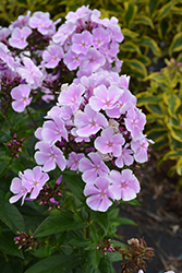 Franz Schubert Garden Phlox (Phlox paniculata 'Franz Schubert') at Make It Green Garden Centre