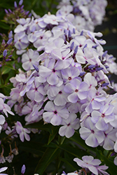 Blue Flame™ Garden Phlox (Phlox paniculata 'Blue Flame') at Make It Green Garden Centre
