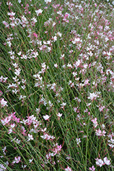Rosy Jane Gaura (Gaura lindheimeri 'Rosy Jane') at Make It Green Garden Centre