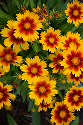 UpTick™ Gold and Bronze Tickseed (Coreopsis 'Baluptgonz') at Make It Green Garden Centre