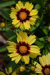 UpTick™ Yellow and Red Tickseed (Coreopsis 'Baluptowed') at Make It Green Garden Centre