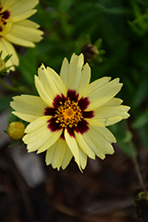 UpTick™ Cream and Red Tickseed (Coreopsis 'Balupteamed') at Make It Green Garden Centre