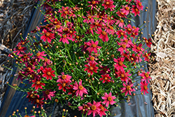 Bloomsation® Dragon Tickseed (Coreopsis rosea 'URIBL01') at Make It Green Garden Centre
