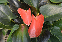 Rainbow Champion Anthurium (Anthurium 'Rainbow Champion') at Make It Green Garden Centre