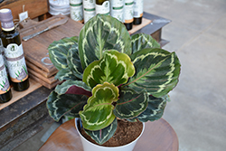 Medallion Rose Painted Calathea (Calathea roseopicta 'Medallion') at Make It Green Garden Centre