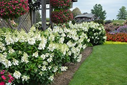 Fire Light® Hydrangea (Hydrangea paniculata 'SMHPFL') at Make It Green Garden Centre