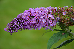 Pugster® Periwinkle Butterfly Bush (Buddleia 'SMNBDO') at Make It Green Garden Centre
