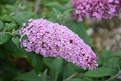 Pugster® Pink Butterfly Bush (Buddleia 'SMNBDPT') at Make It Green Garden Centre