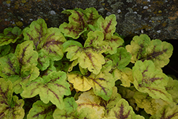 Fun and Games® Eye Spy Foamy Bells (Heucherella 'Eye Spy') at Make It Green Garden Centre