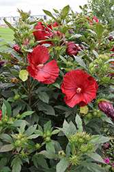 Cranberry Crush Hibiscus (Hibiscus 'Cranberry Crush') at Make It Green Garden Centre