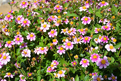 Pretty in Pink™ Bidens (Bidens ferulifolia 'Pretty in Pink') at Make It Green Garden Centre