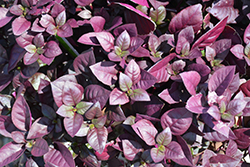 Purple Prince Alternanthera (Alternanthera brasiliana 'Purple Prince') at Make It Green Garden Centre