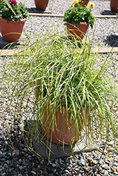 Little Miss Maiden Grass (Miscanthus sinensis 'Little Miss') at Make It Green Garden Centre